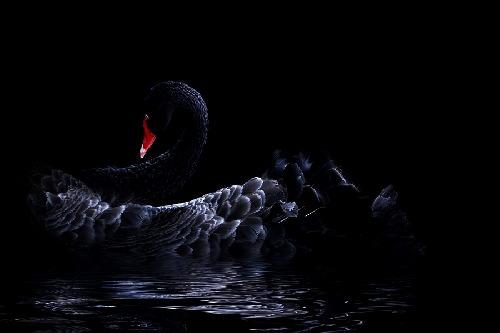 blackswan-919699.jpg